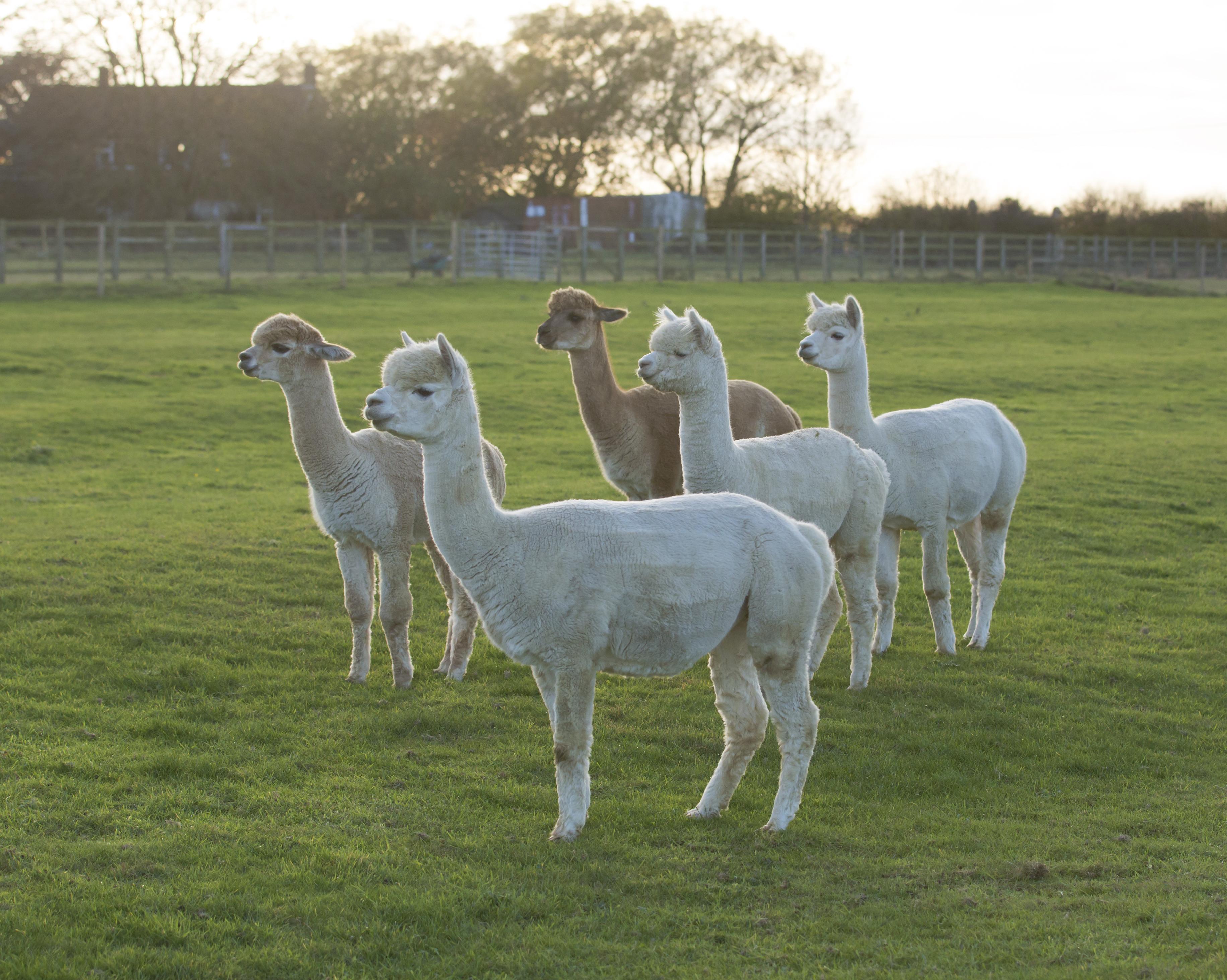 Alpacas in field
